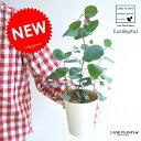 【お試しサイズ】 NEW!! ユーカリ・ポポラス 4号サイズ 苗から育てよう♪ ユーカリプタス フトモモ シルバーダラー