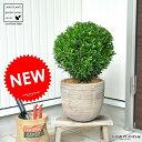 【バルコニスト 推奨item】 NEW!! ボックスウッド(ウインタージェム) のトピアリー デザインの良いテラコッタ鉢の 鉢植え西洋ツゲ セイヨウツゲ 柘植 西洋柘植 門松