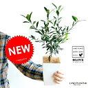 【お試しサイズ】 NEW!! オリーブ苗 4号サイズ 白色鉢カバーセット オリーブ 苗 苗木 鉢植え