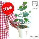 【お試しサイズ】 NEW!! ユーカリ・ポポラス 4号サイズ 苗から育てよう♪ ユーカリプタス フトモモ シルバーダラー 鉢植え【母の日ギフト】