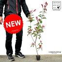 【お試しサイズ】 NEW!! レッドロビン苗(1本) 3.5...