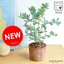 NEW!! ミモザ・アカシア モスポット鉢に植えた ギンヨウアカシア シリンダー型 テラコッタ鉢 苗