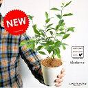【お試しサイズ】 NEW!! ブルーベリー 苗から育てよう♪ (ティフブルー) 4号サイズ 白色プラスチック鉢セット 鉢植え 苗木 敬老の日 ポイント消化 観葉植物