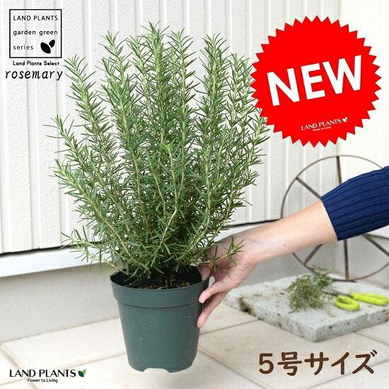 RoomClip商品情報 - ローズマリー 5号 苗ポット 鉢植え ハーブ 立性 苗 苗木 ローズマリ
