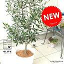 オリーブ 白色 セラアート鉢 8号サイズ 鉢植え オリーブの木 苗 苗木 鉢 白 ホワイト プラスチック 大型 丸 ココヤシファイバー 観葉植物