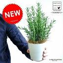 NEW!! ローズマリー 白色プラスチック鉢セット 4号 立性 料理に使える 卓上サイズの ハーブ 境界垣 生垣 海のしずく 薬 バルコニスト 敬老の日 ポイント消化 観葉植物