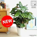 カラテア(マコヤナ) 白色 セラアート鉢 8号 美しい葉の植物 ゴシキヤバネショウ マコヤーナ カラーリーフ 敬老の日 ポイント消化 観葉植物