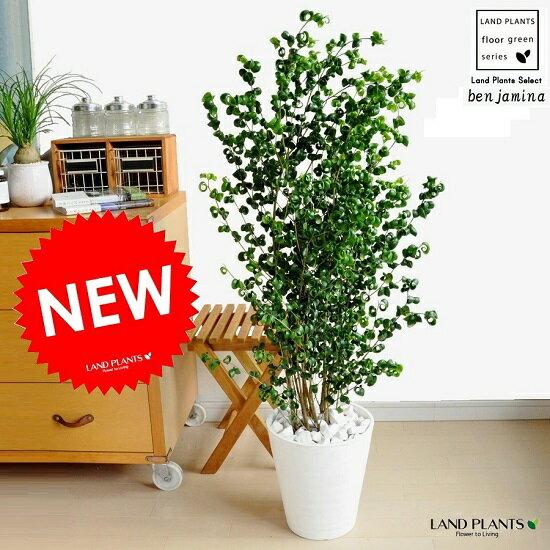 Newベンジャミンバロック白セラアート鉢に植えたクルクル葉っぱのべンジャミナ美しい樹形♪ゴムゴムの木