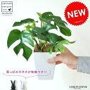 【お試しサイズ】 New!! ヒメモンステラ 葉の形がとっても かわいい ミニモンステラ 4号サイズ
