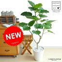 ウンベラータ 8号 割れない 白色 セラアート 大型 観葉植物 セラアート 【ギフト配送可】8号鉢