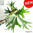 お買い得だと思います。 コウモリラン ボリュームたっぷり 6号白色鉢カバーセット ビカクシダ コウモリ蘭 蘭 プラティケリウム 鹿角 敬老の日 ポイント消化 観葉植物