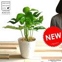 【お試しサイズ】 ヒメモンステラ 白・黒プラスチック鉢セット 4号サイズ アダンソニー・ペルツ-サ 敬老の日 ポイント消化 観葉植物
