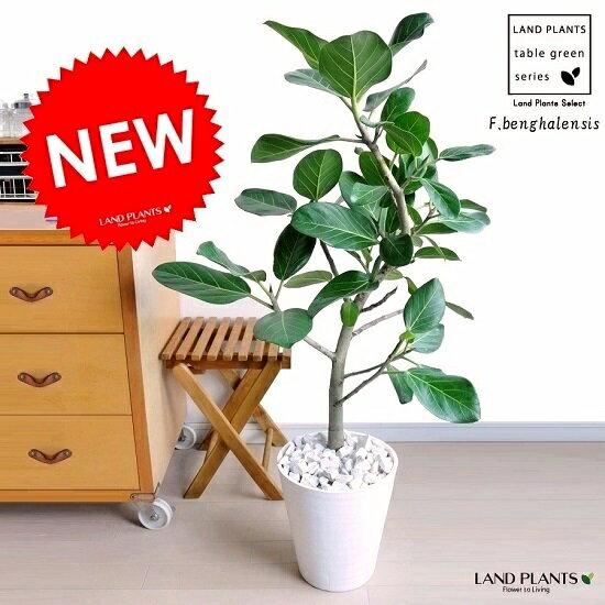 NEWフィカス・ベンガレンシス白セラアート鉢に植えたベンガルゴム美しい樹形♪ゴムゴムの木割れない楽ギ