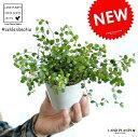 【お試しサイズ】 NEW!! ワイヤープランツ 白色プラスチック鉢セット 3号サイズ ミューレンベッ