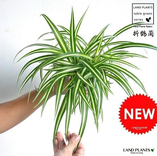 【お試し】 オリヅルラン 白色 4号 プラスチック鉢 Chlorophytum comosum・折鶴蘭・オリズルラン ポイント消化・観葉植物