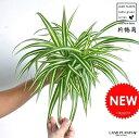 【お試しサイズ】 NEW!! オリヅルラン 白色プラスチック鉢セット 4号サイズ Chlorophytum comosum・折鶴蘭・オリズルラン ポイント消化・観葉植物
