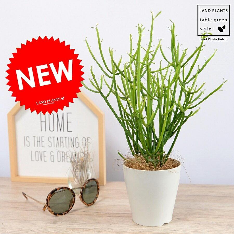 RoomClip商品情報 - 【お試し】 ミルクブッシュ 4号 白色 プラスチック 多肉植物 多肉 観葉植物 天然石 石 苗 苗木 ホワイト プラ鉢 鉢植え ミドリサンゴ 緑珊瑚 アオサンゴ 青珊瑚