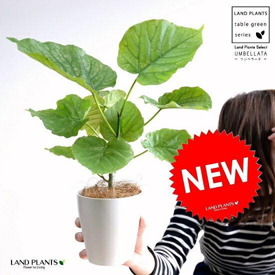 【お試し】 ウンベラータ 4号 白色 プラスチック鉢 (南) 卓上サイズ 鉢植え 鉢 苗 苗木 観葉植物 白 ホワイト 丸