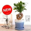 ガジュマル(幹太タイプ) やさしい色合い 陶器鉢 (青色) 鉢植え 陶器鉢 鉢 苗 苗木 ブルー 青 紺 ラウンド 観葉植物 送料無料