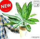 アグラオネマ (シルバークイーン) 4号 白色 プラスチック鉢 コンムタツム サトイモ 敬老の日 ポイント消化 観葉植物