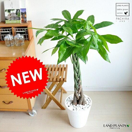 new!! パキラ 5本編込み仕立て 白セラアート鉢に植えた パキラ アクアティカ スタンダード【楽ギフ_のし】【楽ギフ_のし宛書】【楽ギフ_メッセ】【楽ギフ_メッセ入力】パキラくん ゴージャスです! 切れ込み葉っぱが魅力のエキゾチックな観葉植物です♪