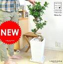 盆栽仕立ての曲がり ガジュマル 白色スクエア陶器鉢に植えた 美樹形 がじゅまるの木 人参 ニンジンガジュマル ガジュマロ カジュマル カジュマル