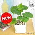 母の日ギフト new!! フィカス・ウンベラータ 質感の良い白色台形陶器鉢に植えた 可愛い卓上ウンベラータ