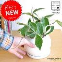 Re:new!! ホヤ・カルノーサ 白色丸型陶器に植えた サクララン ホヤカルノーサ