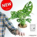 【お試しサイズ】 New!! マドカズラ 穴あき葉っぱの かわいい マドカズラ 4号 モンステラ属 フリードリヒスターリー