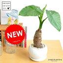New!! クワズイモ 白色丸型陶器鉢に植えた アロカシア【楽ギフ_のし】【楽ギフ_のし宛書】【楽ギ