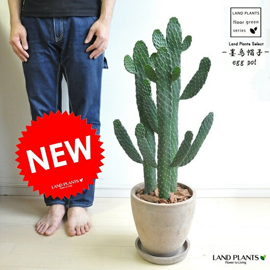 new!! サボテン 墨烏帽子 茶色エッグポット植えた ウチワサボテン 多肉植物 スミエボシ バンザイサボテン