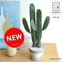 【セール商品】 new!! サボテン 墨烏帽子 2本立ちロング 石模様のセメントポットに植えた ウチワサボテン 多肉植物 スミエボシ バンザイサボテン