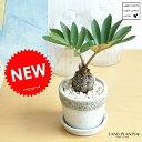 New!! ザミア 石模様のセメントポットに植えた ヒロハザミア・メキシコソテツ