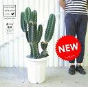 Re:NEW!! 柱サボテン ブランチ 切り込み仕立て 【選べる樹形】 白色プラスチック鉢に植えた キメンカク サボテン カクタス C4カクタス 敬老の日 ポイント消化 観葉植物