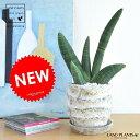 【希少種です】 NEW!! サンスベリア ボンセレンシス・オバケ 月面模様のデザイン陶器鉢に植えた サンセベリア スタッキー