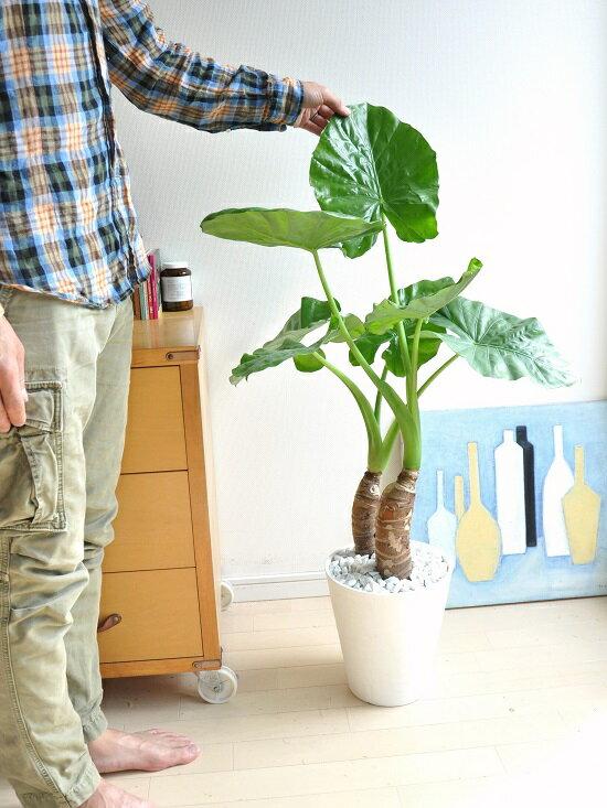 New!! クワズイモ 白色セラアート鉢に植え...の紹介画像2