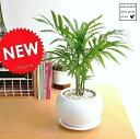 New!! テーブルヤシ 白色丸型陶器に植えたtable green series ヤシ アレカヤシ ロベヤシ