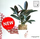 【お試しサイズ】 NEW!! フィカス・バーガンディー 4号卓上サイズ ゴムの木   バーガンディ ...