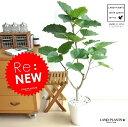 Re:New!! ハートリーフ ウンベラータ 白セラアート鉢に植えた フィカス・ウンベラータ 美しい