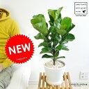 NEW!! カシワバゴム 白色デザイン陶器鉢に植えた フィカス・リラータ 大きな葉の植物 バンビーノ