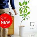 【美樹形】 アルテシーマ 白色スリム丸型陶器に植えた フィカス・アルテシーマfloor green series ゴム ゴムの木
