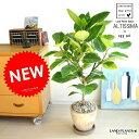 RoomClip商品情報 - NEW!! 自然樹形 アルテシーマ バリエガータ 茶色エッグポット植えた 【送料無料】 こだわり樹形 斑入りゴムの木 フィカス アルテシーマゴム ゴムノキ アルテシマゴム アルテシマ アルティーシマ アルティシーマ