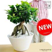 【樹形選べる】 選べる 特大 ガジュマル (超幹太) 鉢植え 幸福をもたらす 多幸の樹 精霊 がじゅまるの木 鉢 プラ鉢 白 ホワイト セラアート 観葉植物
