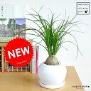 RoomClip商品情報 - new!! トックリラン(ノリナ) 白色丸型陶器鉢に植えた 幹の太い ポニーテール 子ぶたのしっぽ 敬老の日 ポイント消化 観葉植物