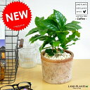 NEW! コーヒーの木 モスポット鉢に植えた  コーヒーノキ  シリンダー型 テラコッタ鉢 【楽ギフ