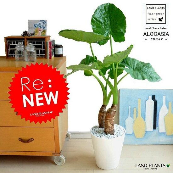 New!! クワズイモ 白色セラアート鉢に植えた...の商品画像