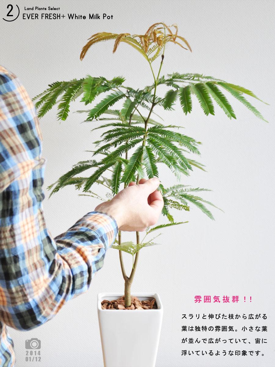 【 観葉植物 】【送料込】 table green series 白色スリム陶器鉢に植えた エバーフレッシュ 敬老の日 ポイント消化 観葉植物