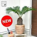 【バルコニスト 推奨item】 NEW ソテツ アンティークブラウン鉢に植えた 鉢植えソテツ縁起の良い植物 敬老の日 ポイント消化 観葉植物