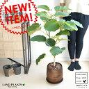ウンベラータ ウッド風 ペイント陶器 Lサイズ 8号 大型【観葉植物】 茶色・ブラウン・陶器鉢・植木鉢