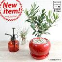 オリーブ 赤色 大丸陶器鉢 オリーブの木 苗木 レッド・植木鉢・鉢・丸鉢・紅
